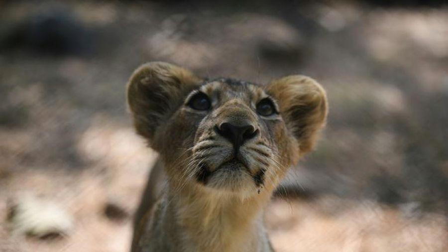 Sư tử Ấn Độ vượt qua nguy cơ tuyệt chủng