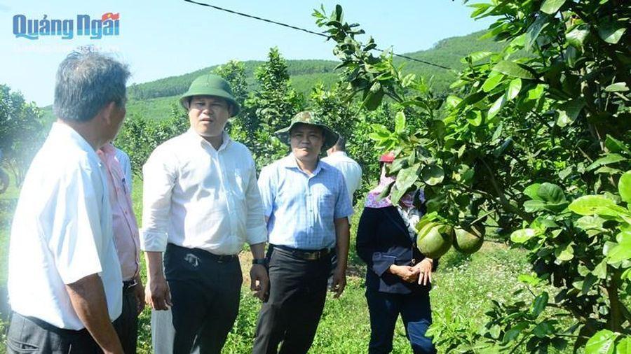 Kiểm tra khôi phục sản xuất vùng trồng cây ăn quả huyện Nghĩa Hành