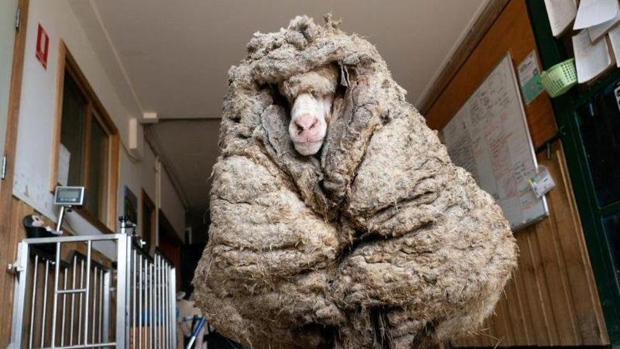 Cụ cừu hoang có bộ lông to sụ nặng 35kg như khoác chăn bông khiến nhiều người hiếu kỳ đã 'lột xác' ngoạn mục với vẻ ngoài mới