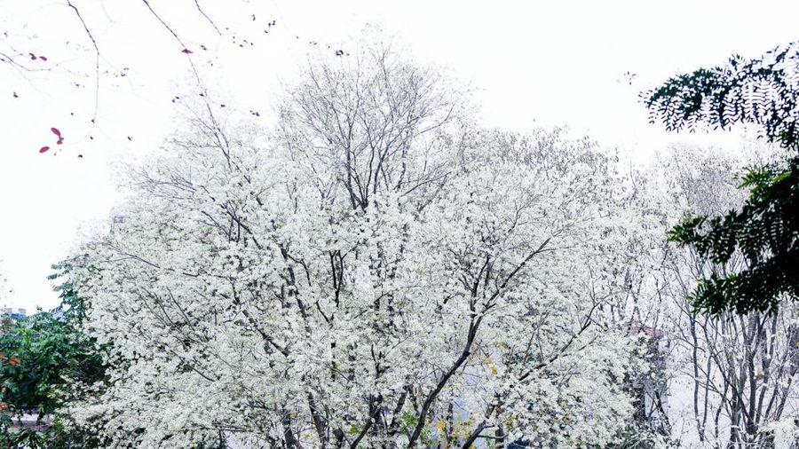 Hà Nội: Ngỡ ngàng với vẻ đẹp hoa sưa nở trắng khắp phố phường
