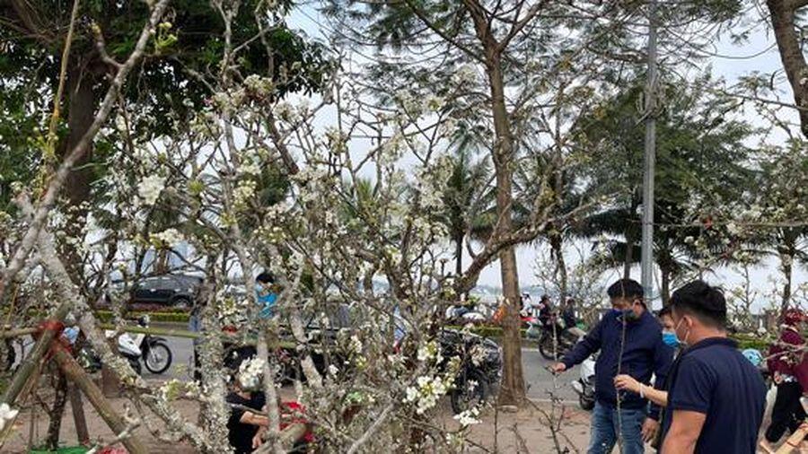 Hà Nội: Nhộn nhịp người mua hoa lê chơi dịp rằm tháng Giêng