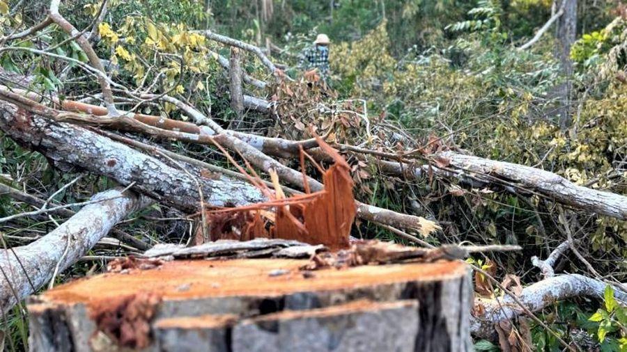 Bảo vệ rừng nghỉ Tết, 'lâm tặc' hoành hành giữa rừng tự nhiên vùng giáp ranh