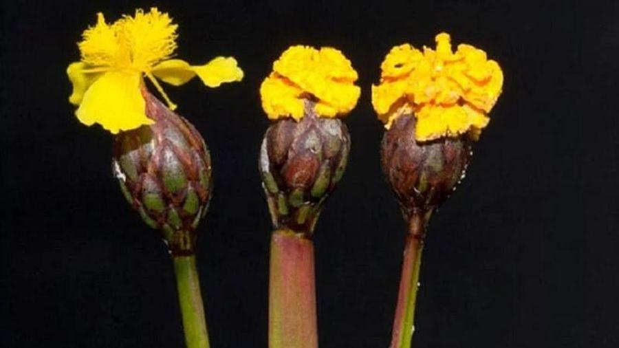 Loài nấm tinh quái 'giả dạng' hoa để bẫy côn trùng