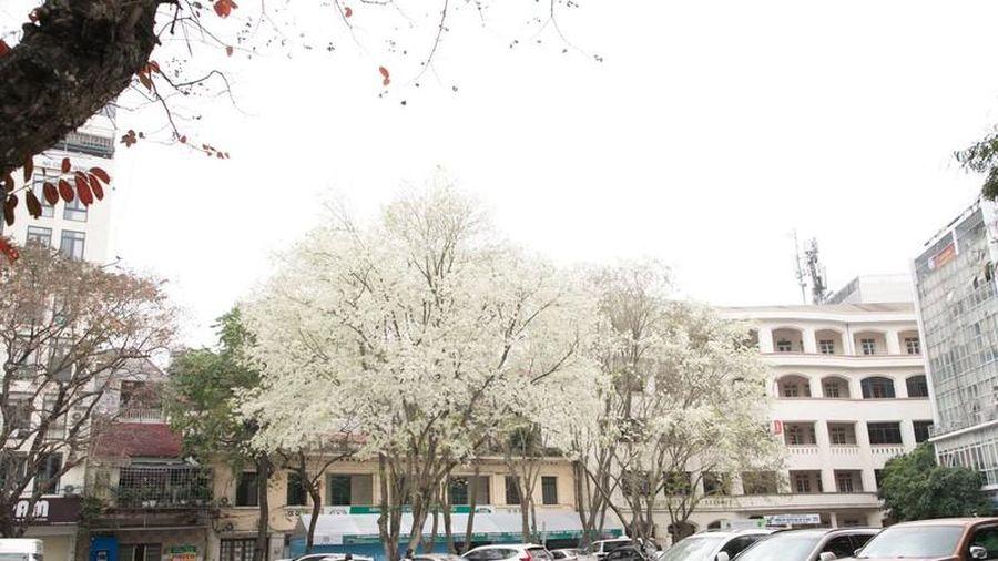 Choáng ngợp cảnh hoa sưa 'phủ tuyết' trắng phố phường Hà Nội