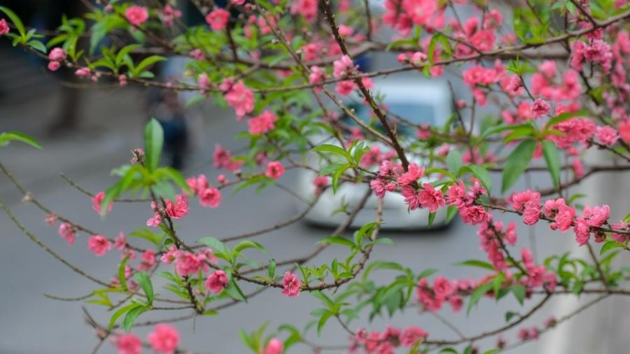 Con đường hoa đào 'độc nhất vô nhị' giữa lòng Thủ đô