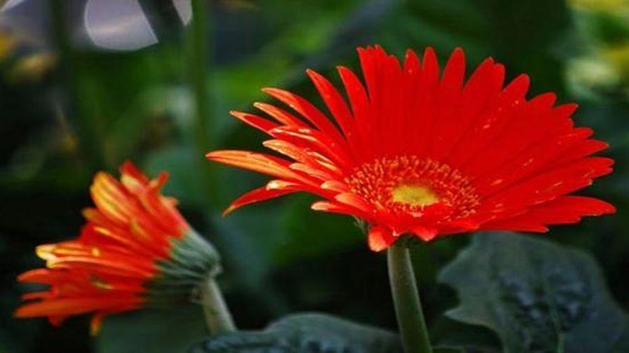 Cúng ngày Rằm tháng Giêng bằng những loại hoa này, gia chủ sẽ có một năm 'đếm tiền mỏi tay'