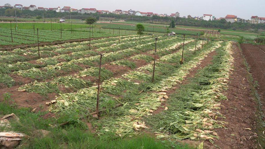 Hơn 200 tấn củ cải, cà chua của nông dân Hà Nội phải vứt bỏ