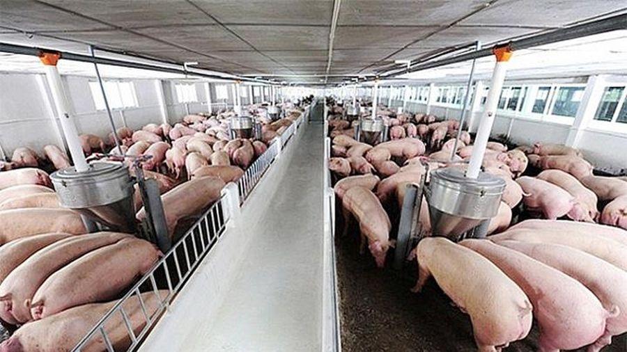 Giá lợn hơi hôm nay 26/2/2021: Giảm nhẹ, cao nhất đạt 78.000 đồng/kg