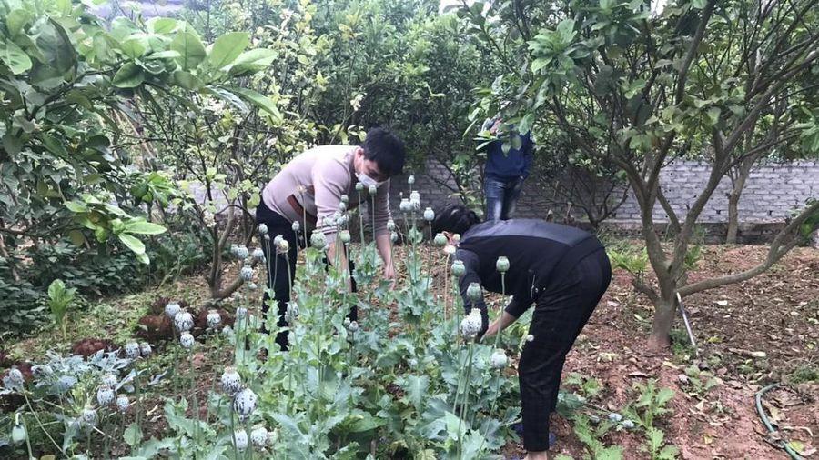 Bắc Giang: Nhiều hộ 'trồng cây thuốc phiện để làm rau ăn'