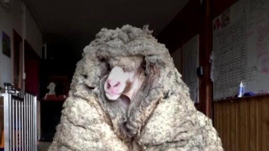 Sốc với con cừu có bộ lông dày cộm nặng đến 35kg