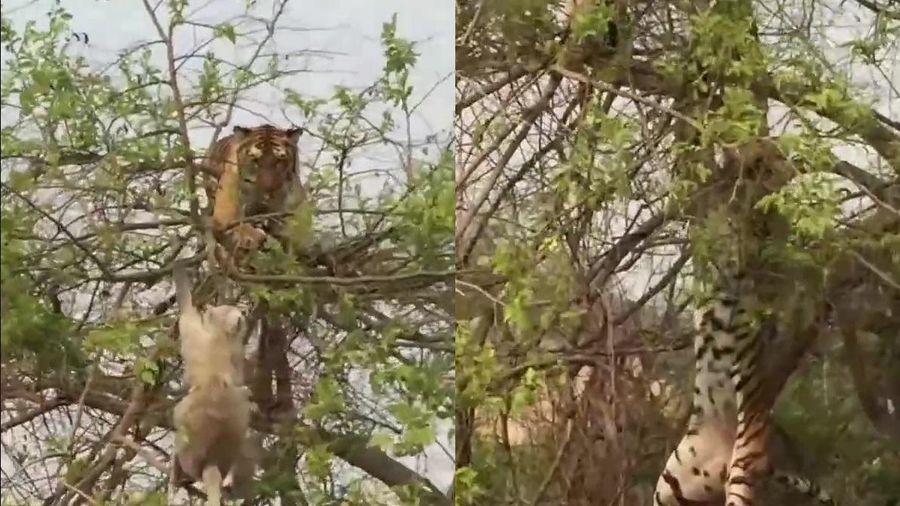 Clip: Trèo cây bắt khỉ, hổ ngã đau điếng