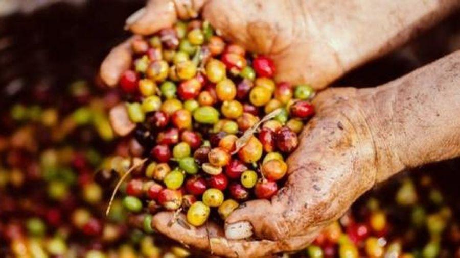 Giá cà phê hôm nay 27/2: Quay đầu giảm nhẹ