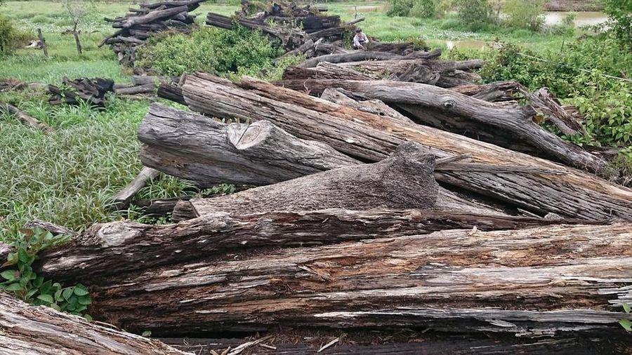 Chính quyền tắc trách, 1.000 m3 gỗ công sản 'tiền tỷ' mục nát