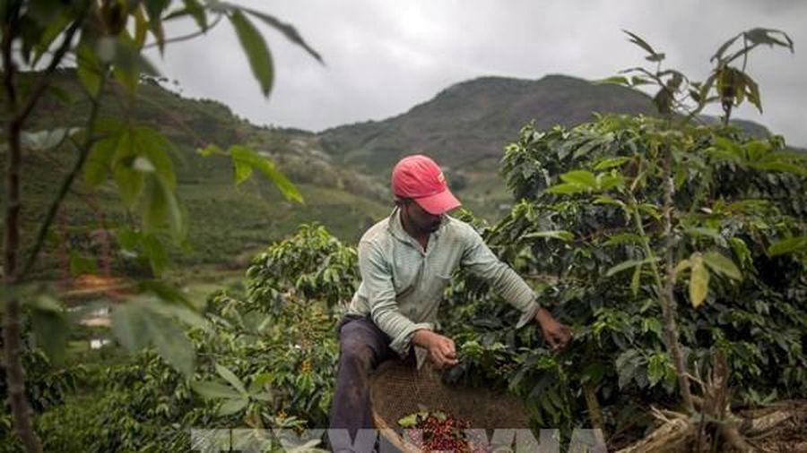 Giá cà phê đồng loạt giảm trong phiên 26/2