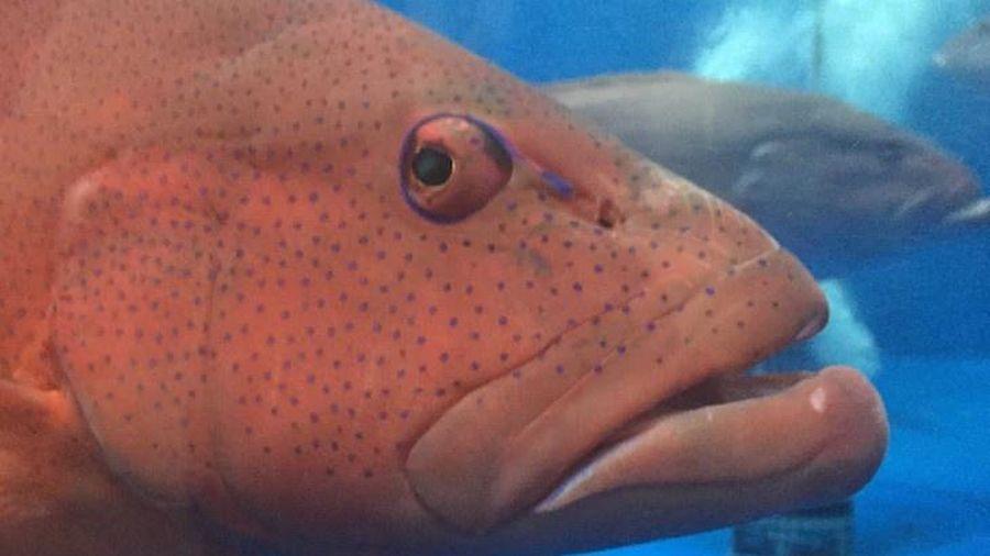 Trung Quốc 'giáng đòn' vào cá mú đỏ Australia