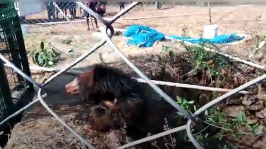 Giải cứu gấu hoang dã rơi xuống giếng bỏ hoang