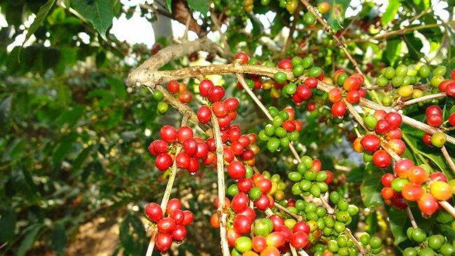 Giá cà phê hôm nay 28/2: Robusta tăng 148 USD/tấn tháng 2/2021, thị trường hứng vốn từ chứng khoán và tiền ảo