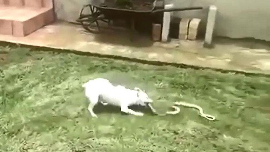 Clip: Chó nhà tấn công rắn hổ mang chúa và cái kết khó tin