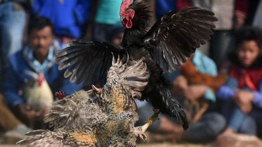 Ấn Độ: gà chọi khiến chủ thiệt mạng