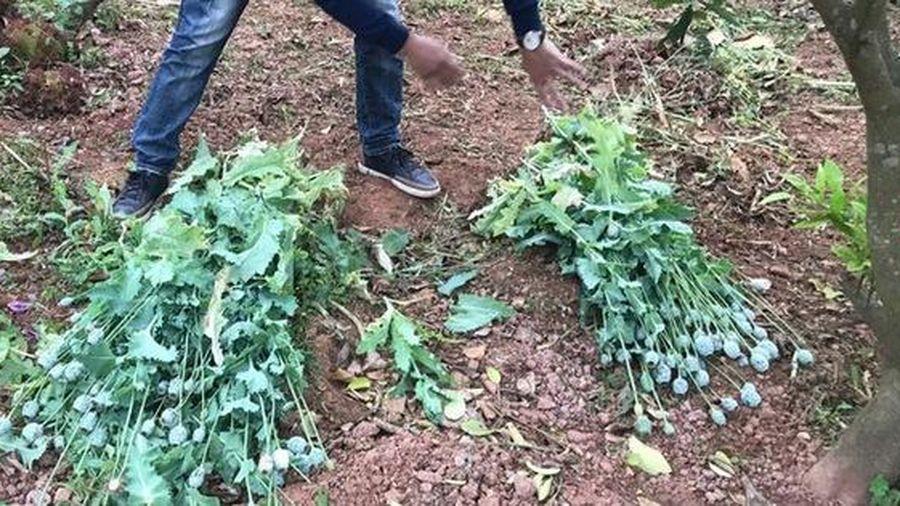 Trồng cây thuốc phiện để làm rau ăn và nuôi lợn liệu có phạm luật?