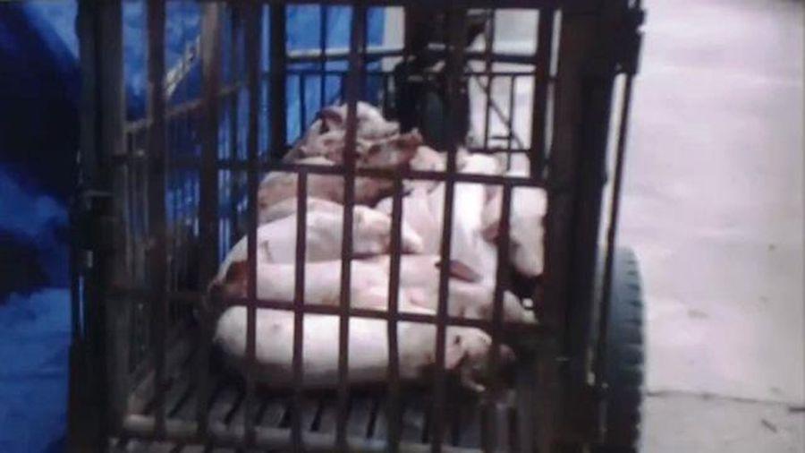 Cơ sở giết mổ lợn chết ở Chương Mỹ: Bộc lộ nhiều điểm yếu trong kiểm tra, giám sát