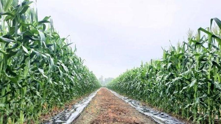 Trồng cây bắp dưới chân ruộng, lãi gấp 2 - 3 lần lúa