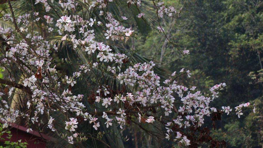 Điện Biên: Sắc ban đầu mùa nơi phố núi Mường Thanh