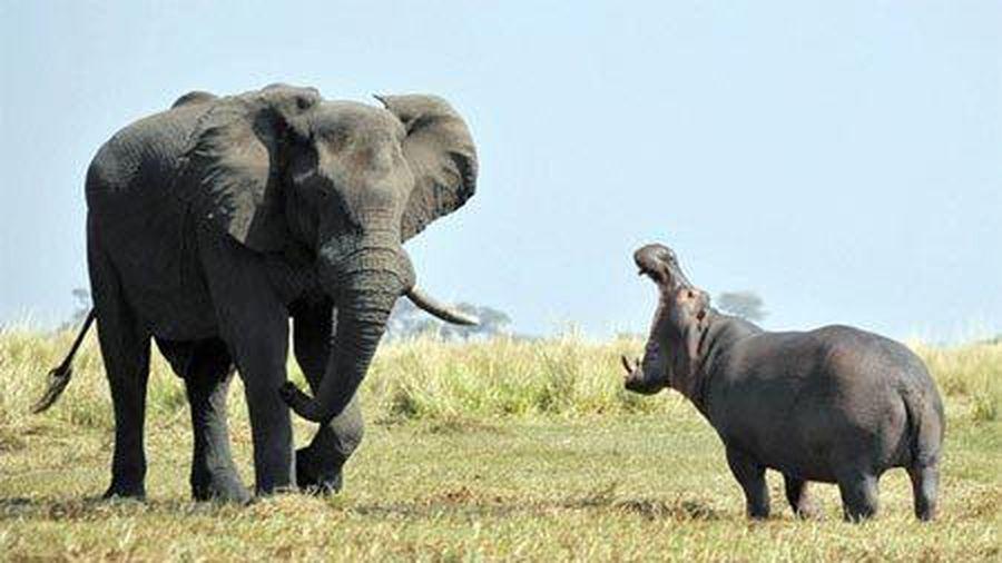 Hà mã hiên ngang đối đầu với voi