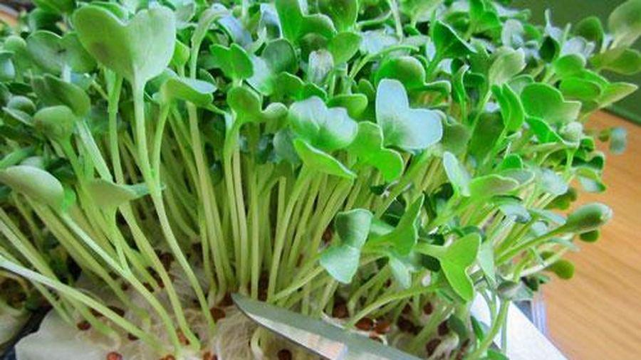 Hướng dẫn cách trồng rau mầm bằng giấy ăn đơn giản