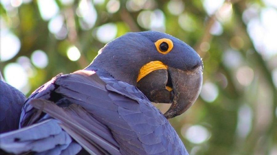 Loài vẹt thông minh vì chúng tiến hóa như linh trưởng?
