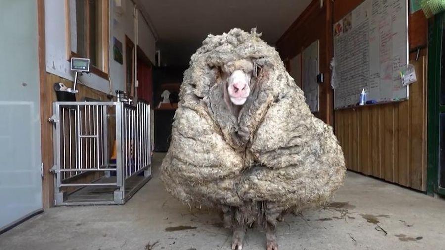Chú cừu có bộ lông dày khủng khiếp được giải cứu từ một khu rừng ở Úc