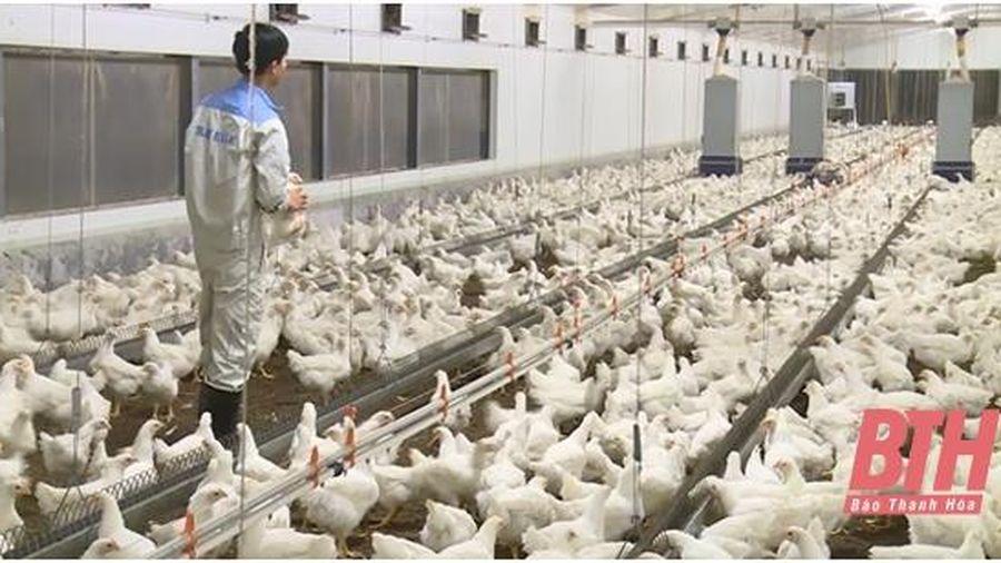 Huyện Thọ Xuân chủ động phòng chống dịch bệnh cho đàn gia súc, gia cầm