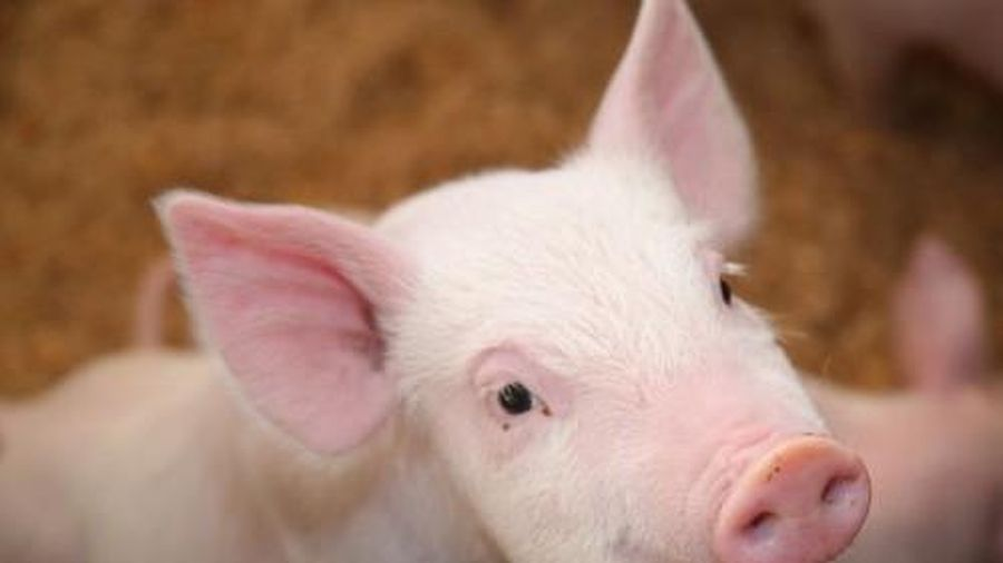 Giá lợn hơi hôm nay 1/3/2021: Miền Nam giá tiếp tục giảm