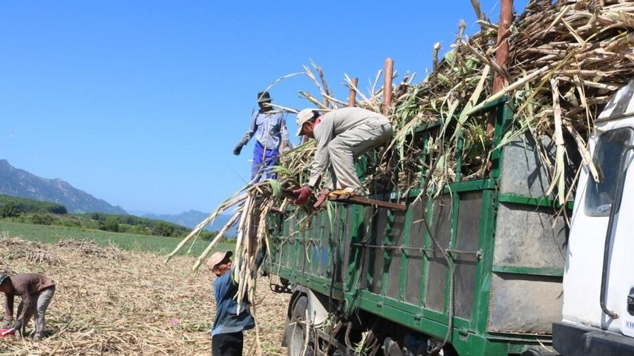 Trồng mía không hiệu quả, nông dân Khánh Hòa loay hoay chuyển đổi cây trồng mới