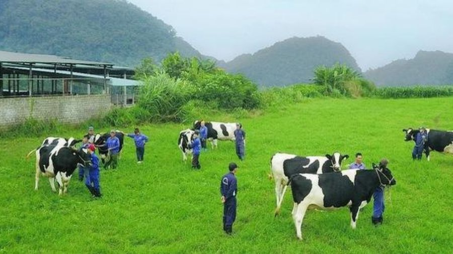 Thiên nhiên - yếu tố 'vàng' tạo nên thiên đường bò sữa Mộc Châu