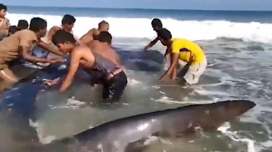 Giải cứu cá mập voi khổng lồ mắc cạn