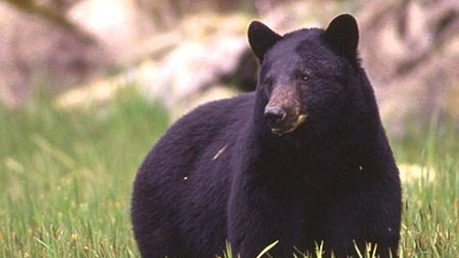 Gấu đen chui vào nhà vệ sinh tấn công người