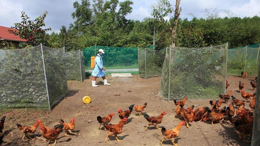 Xuất hiện dịch cúm A/H5N6, phải tiêu hủy khoảng 9.500 con gia cầm