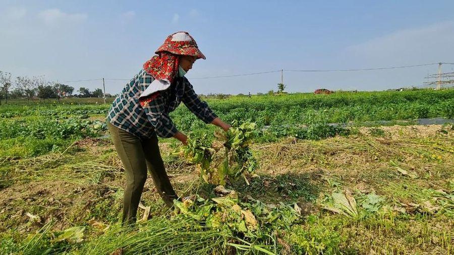 Nghệ An: Rau ế ẩm, nông dân mang về... cho bò ăn