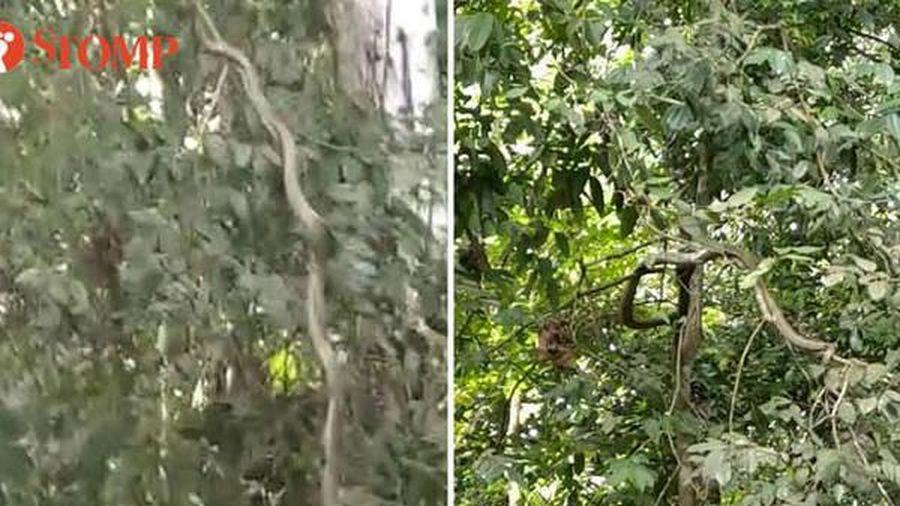 Rắn hổ mang chúa leo cây bắt mồi bên trong công viên Singapore