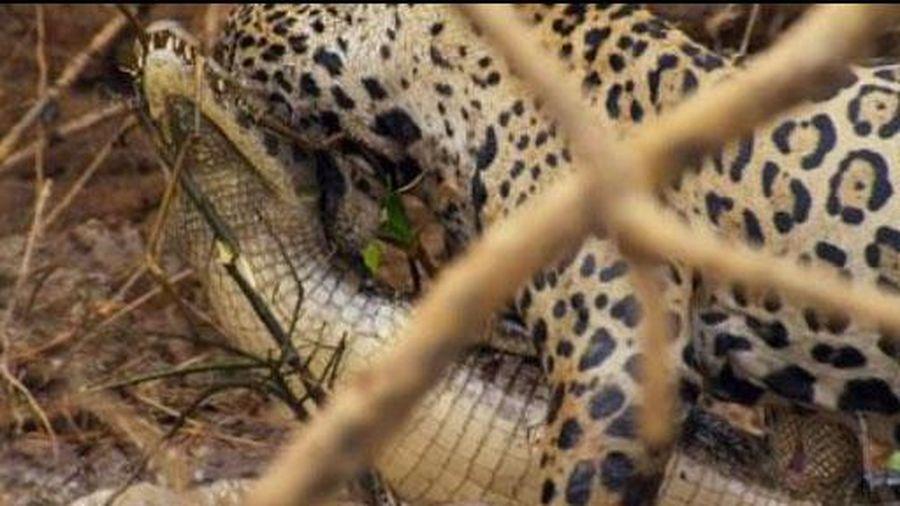 Báo đốm đoạt mạng cá sấu dài hơn 3m ngoạn mục