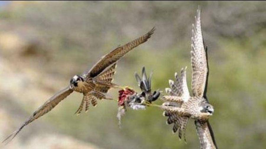 Cận cảnh pha săn mồi đẫm máu của chim ưng