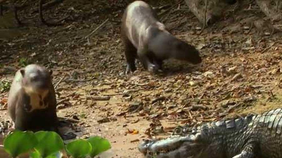 CLIP: Đi lạc vào lãnh địa cấm, hung thần Amazon chết thảm bởi gia đình rái cá