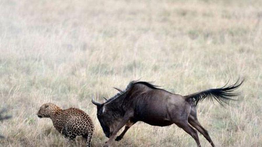 Báo gấm tháo chạy trước cặp sừng linh dương