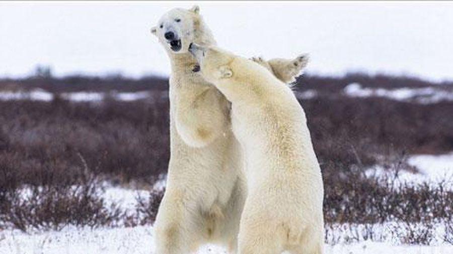 Hai con gấu trắng Bắc Cực 'đọ quyền' giữa tuyết lạnh