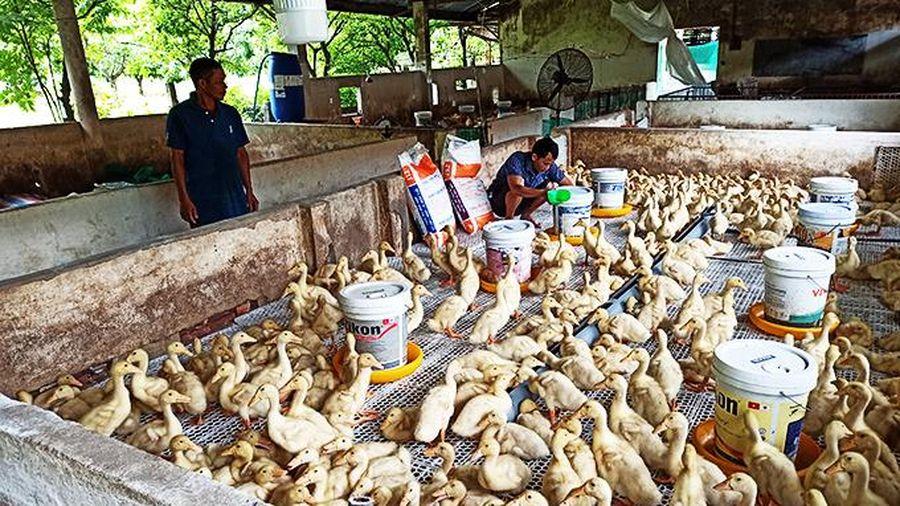 Cam Lâm: Sẽ nhân rộng mô hình nuôi vịt siêu nạc