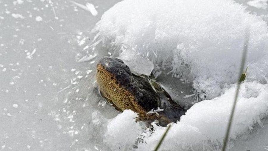 Cá sấu đông cứng trong hồ, nhô mõm lên để thở