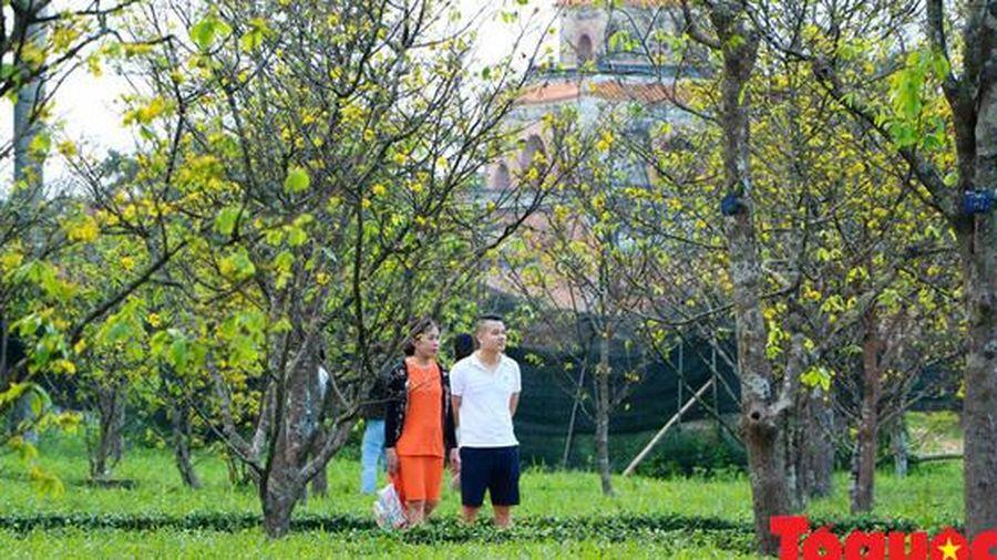 Phát động phong trào 'Mai vàng trước ngõ' xây dựng Huế - thành phố bốn mùa hoa