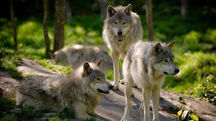 Thợ săn Wisconsin giết chết hơn 200 con sói trong 60 giờ