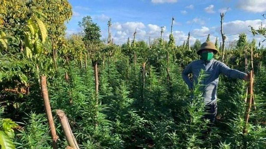Phát hiện điểm trồng cây cần sa trái phép ở Đắk Lắk